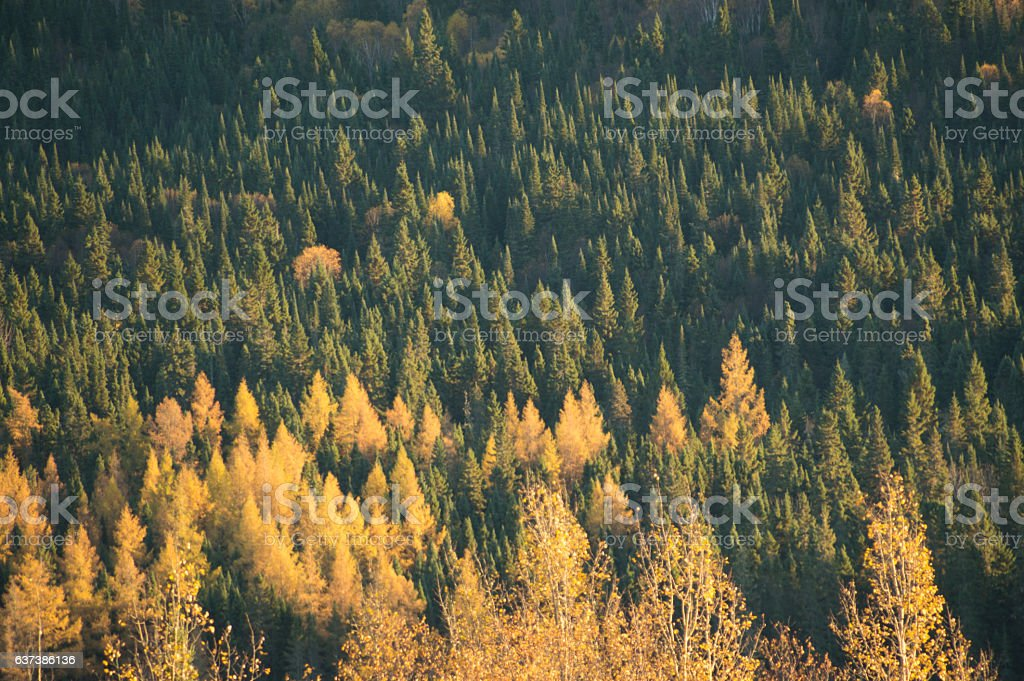 Bright sidelit valley of yellow and green coniferous trees stock photo