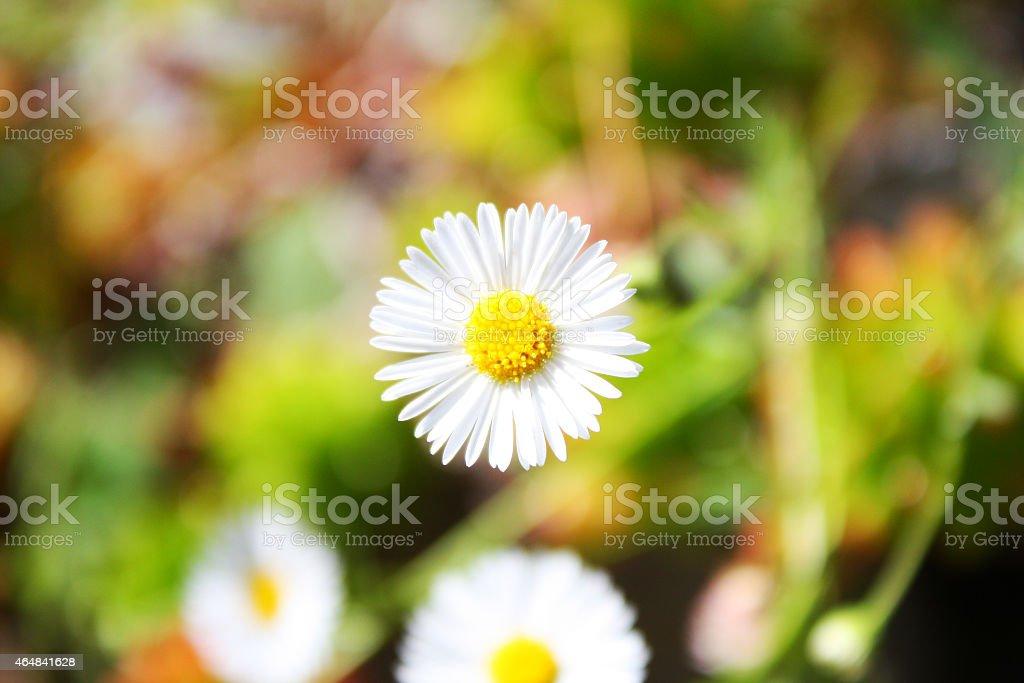 Bright Single Daisy stock photo