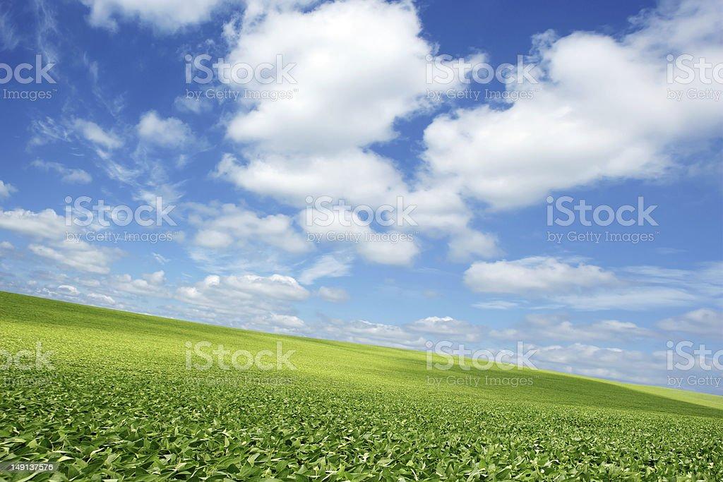 XXXL bright soybean field royalty-free stock photo