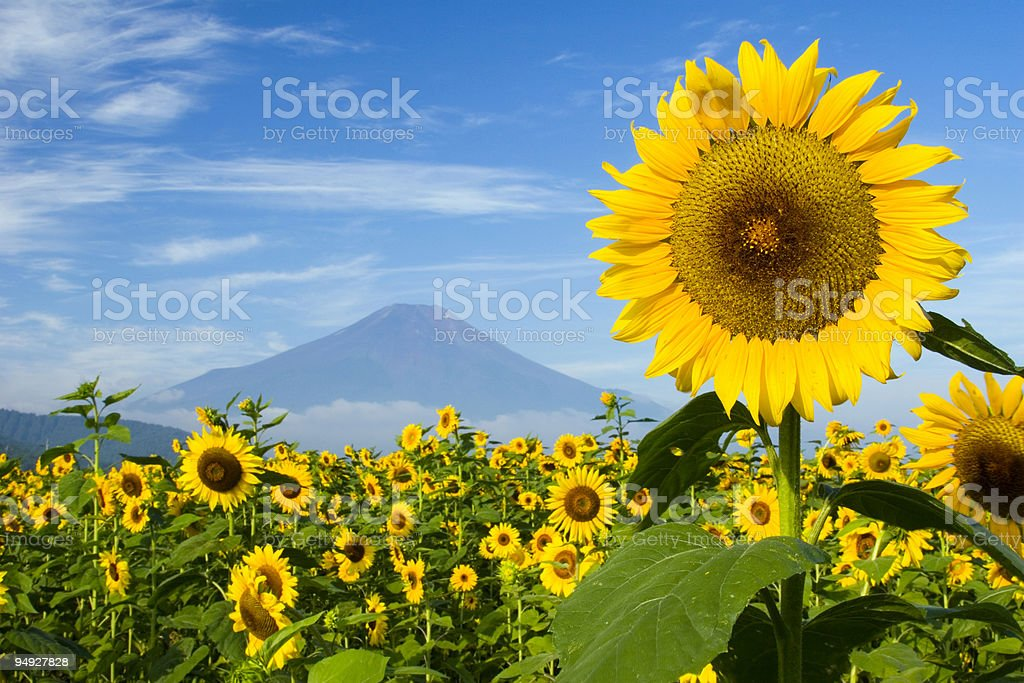 A bright sunflower field with a mountain in the background stock photo