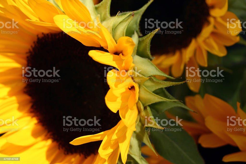 Bright Sunflower stock photo