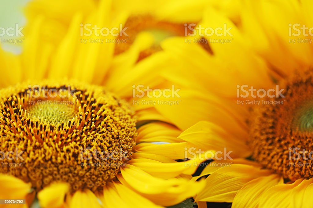 bright sunflower. stock photo