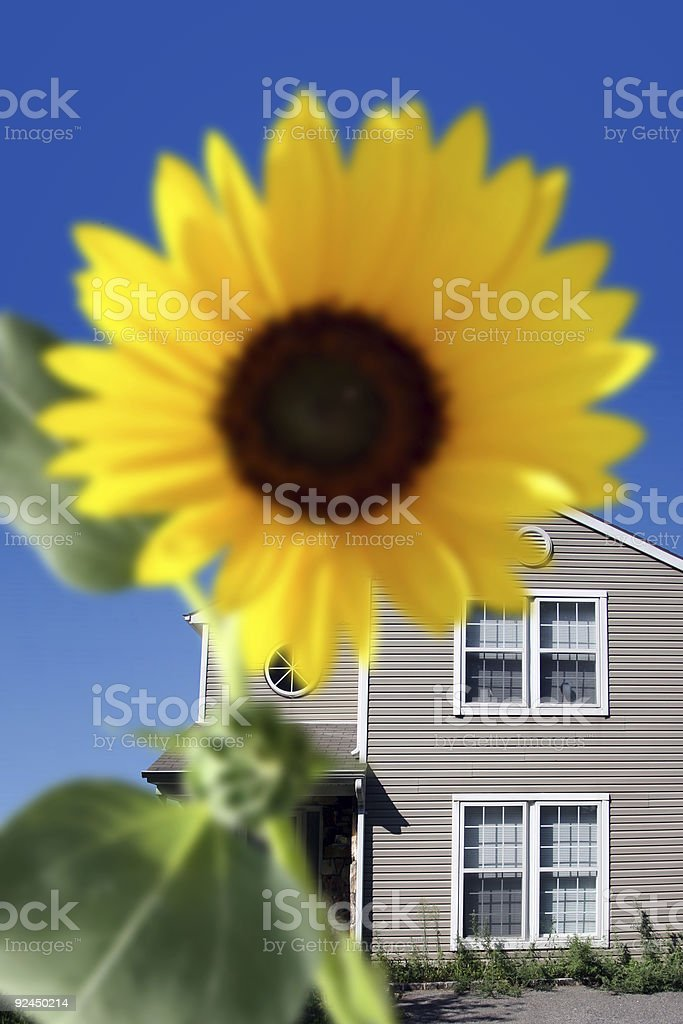 Bright sunflower royalty-free stock photo