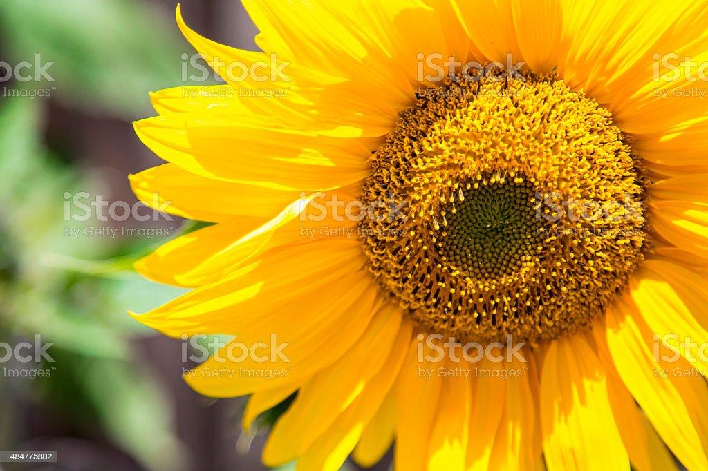 Jasny Słonecznik z pszczoły zbiór zdjęć royalty-free