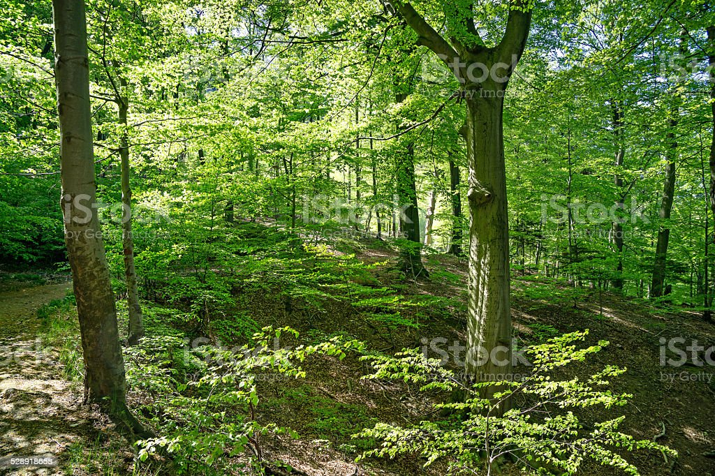 Bright sunny forrest in Harz, Germany on spring day stock photo