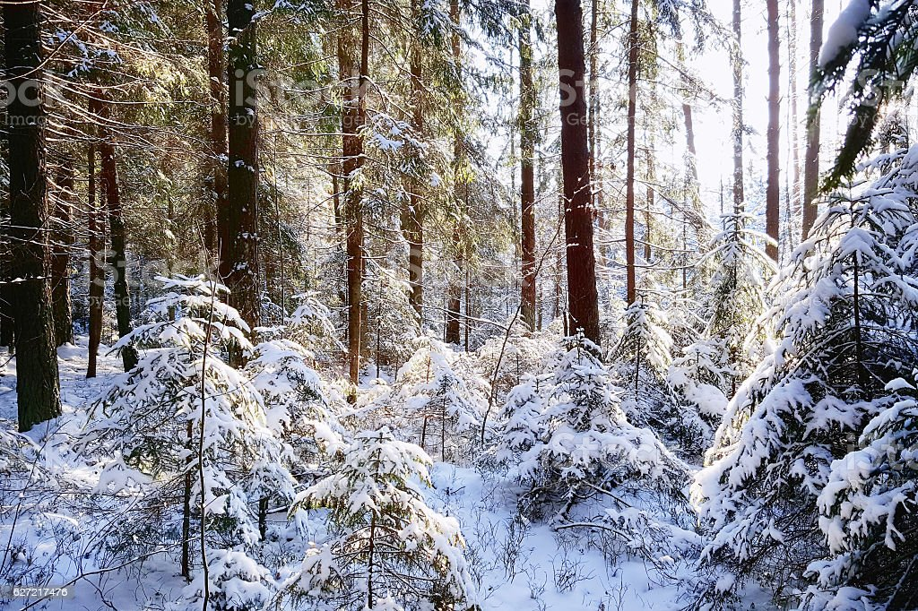 Bright sunny pine forest in the snow stock photo