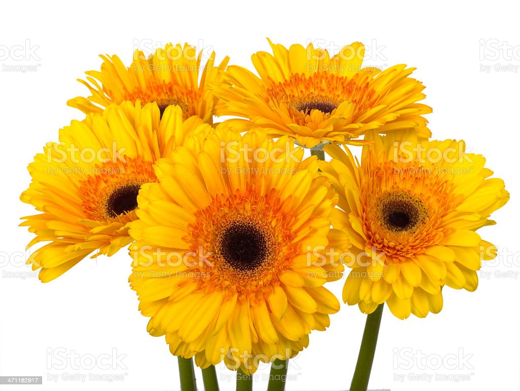 Bright sunny yellow and orange Gerbera Daisies royalty-free stock photo