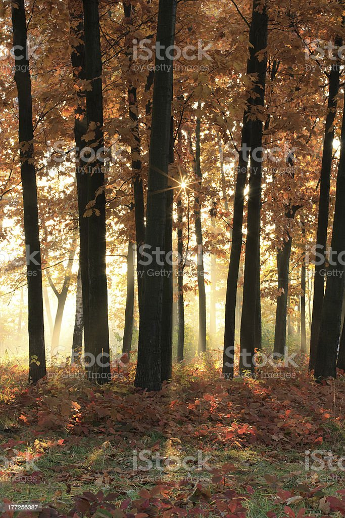 Bright sunshine in the autumn forest royalty-free stock photo