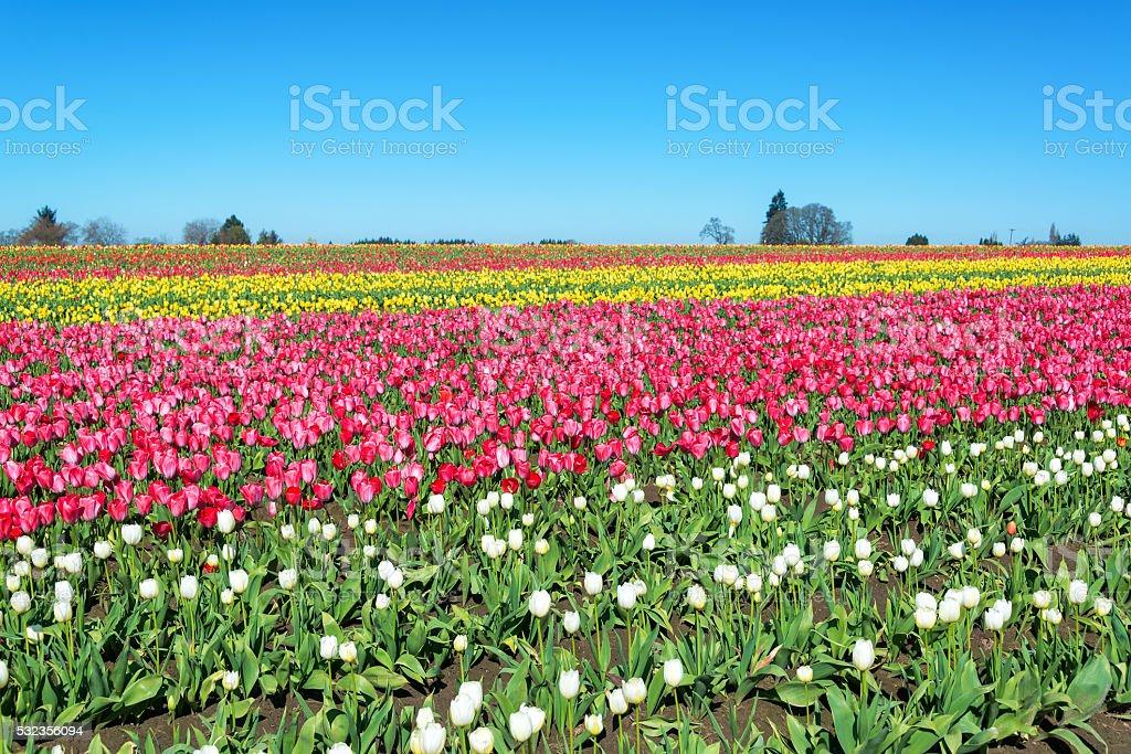 Bright Tulip Landscape stock photo