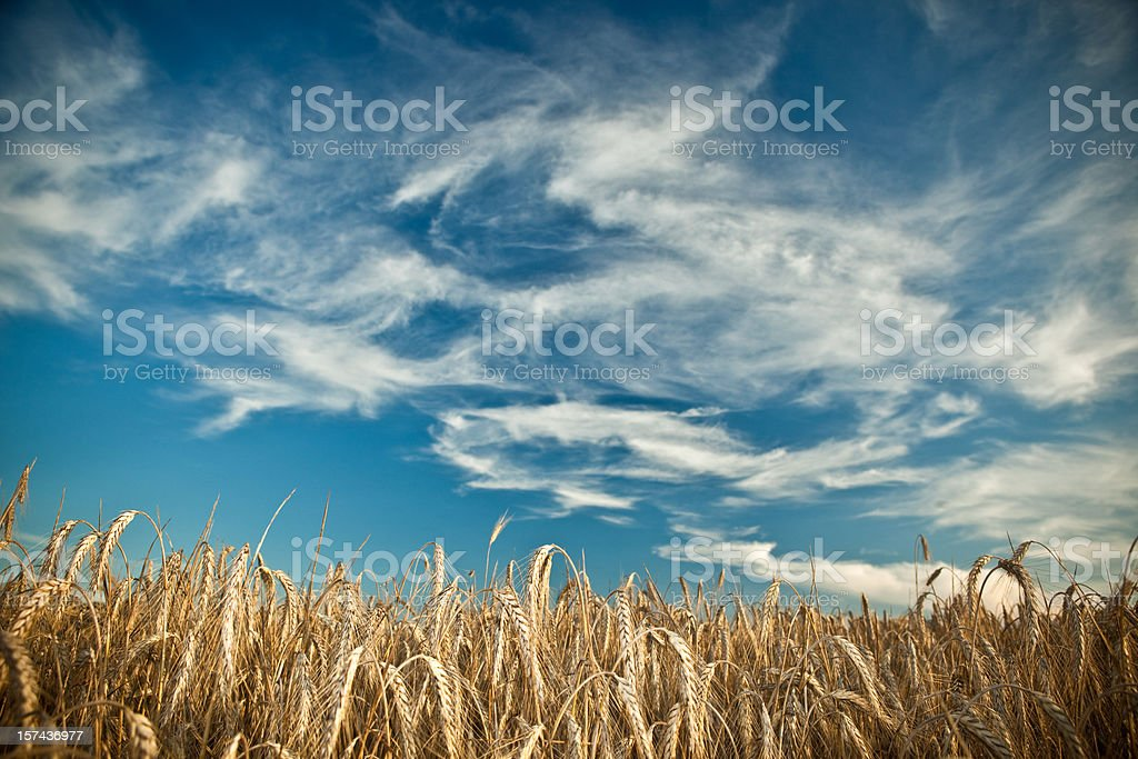 bright wheat detail with blue sky royalty-free stock photo