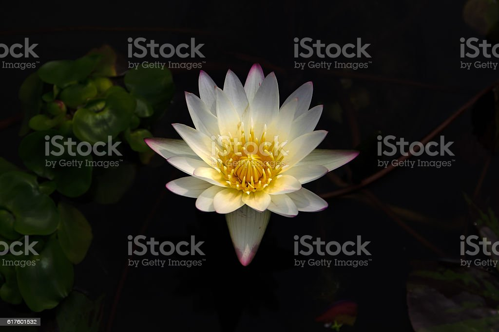 bright white lotus flower in the darkness stock photo