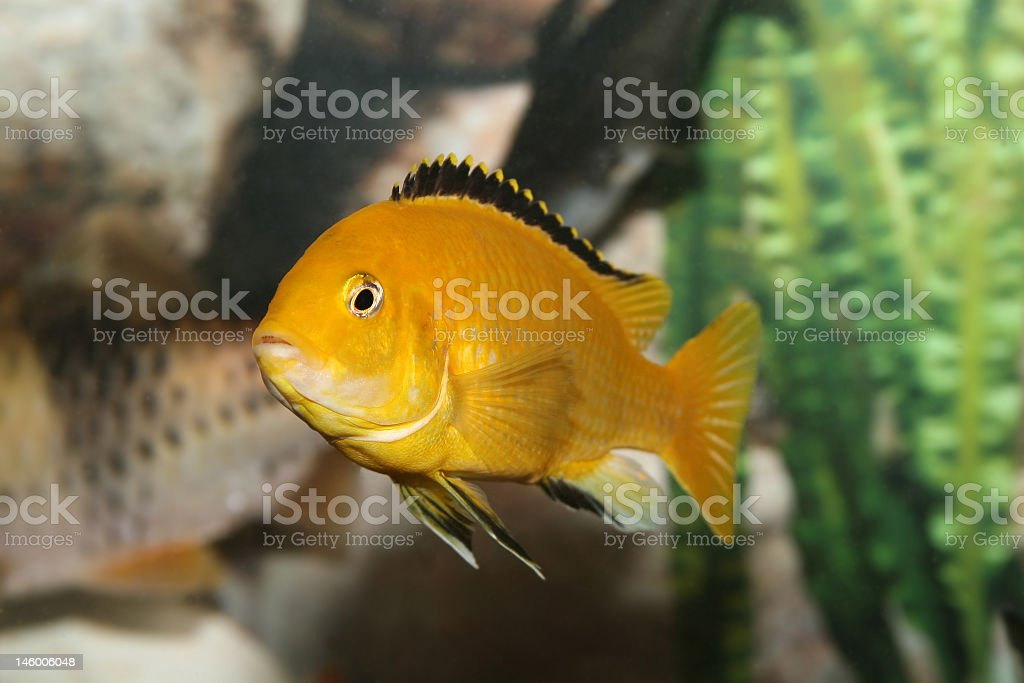 Bright yellow African Cichlid in tank stock photo