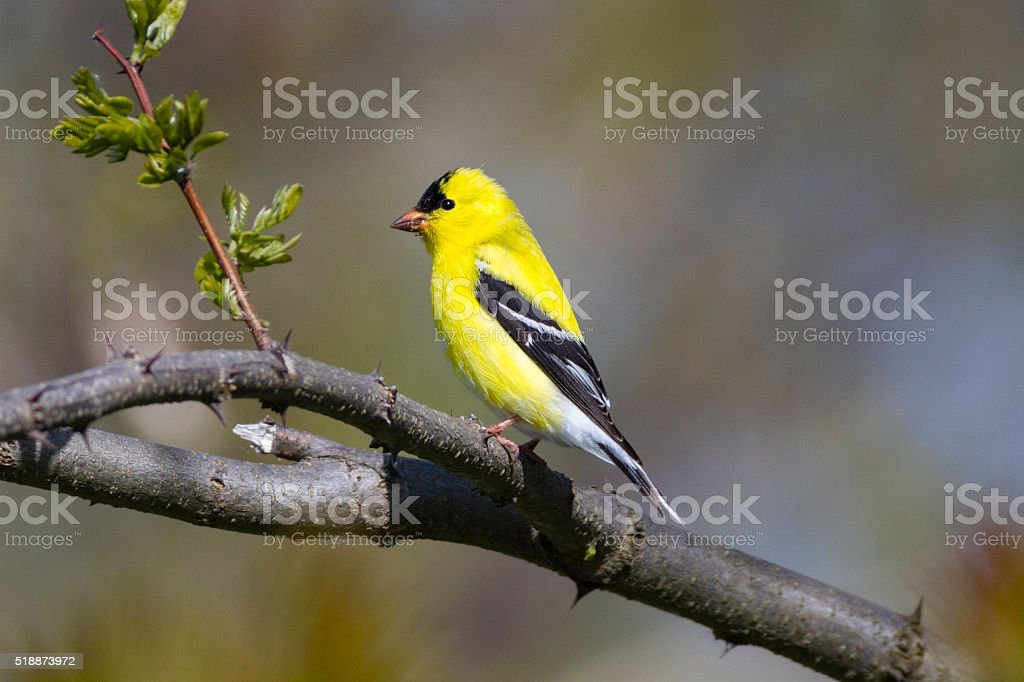 Bright yellow American Goldfinch bird stock photo