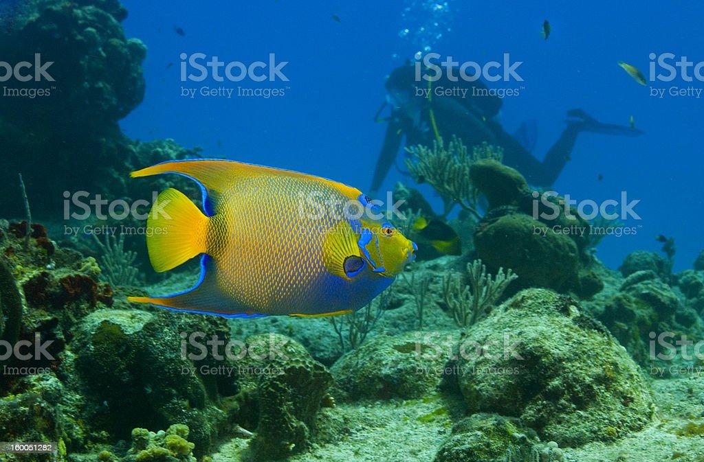 Bright yellow and blue queen angelfish underwater stock photo