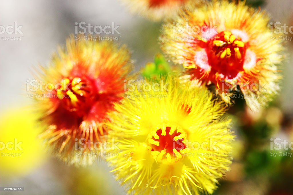 Bright Yellow and Red Featherflowers (Wildflowers), Australia stock photo