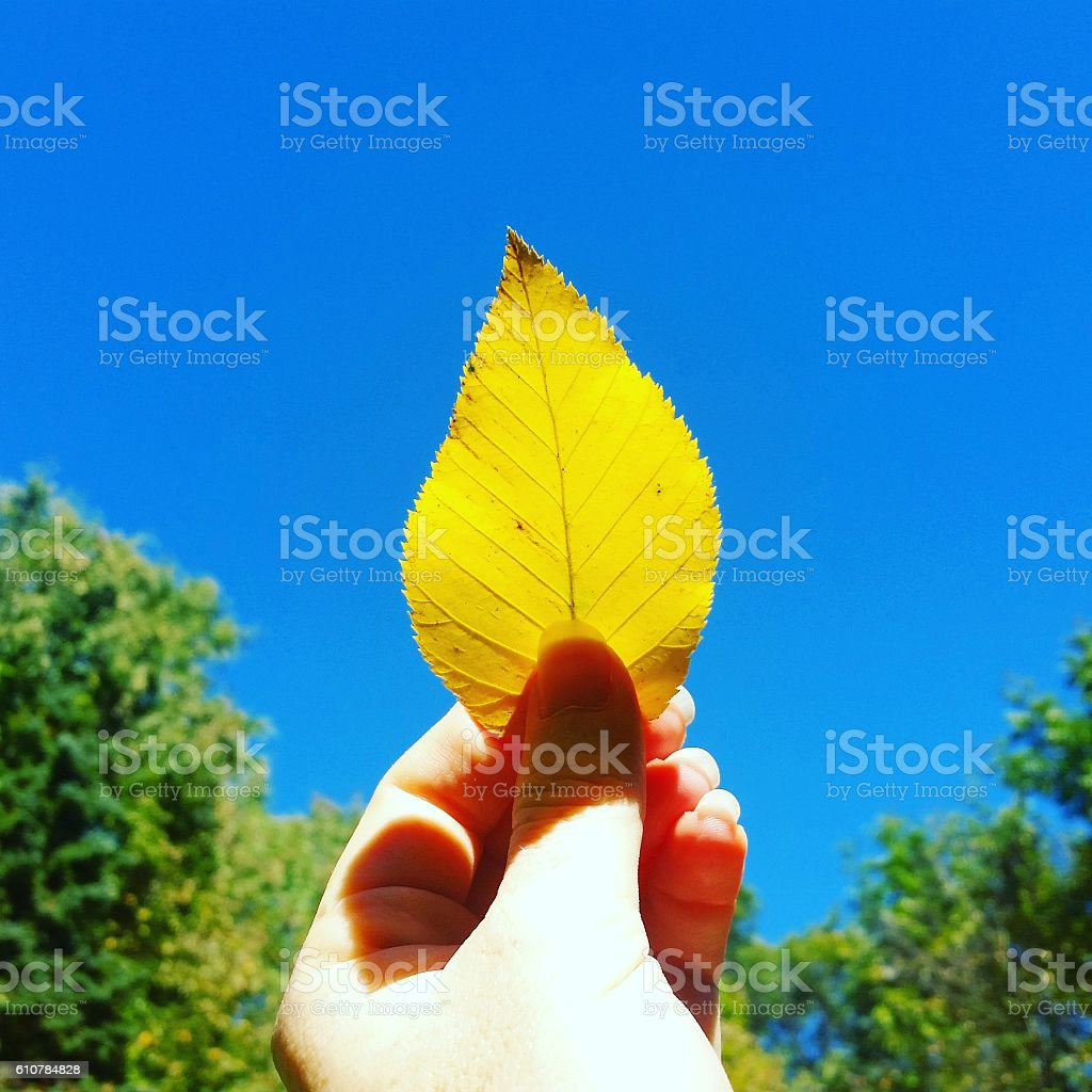 Bright Yellow Autumn Leaf in Hand Against Clear Blue Sky stock photo