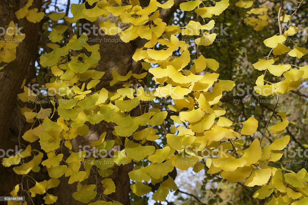Ginkgo autumn leaves fly like yellow butterflies stock photo