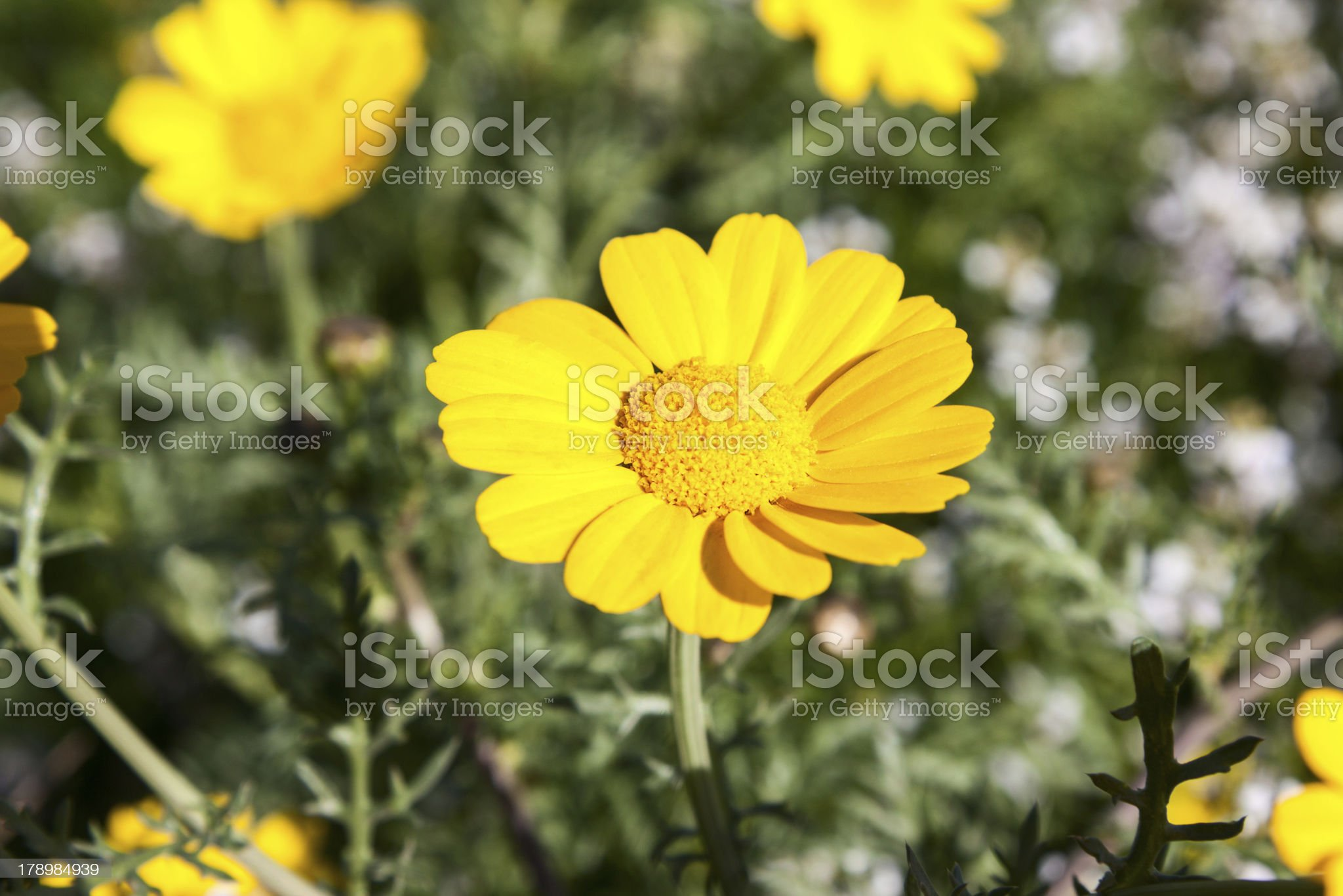 Bright yellow camomile royalty-free stock photo