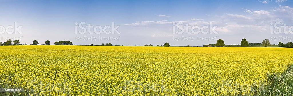 Bright yellow crop blue panoramic sky royalty-free stock photo