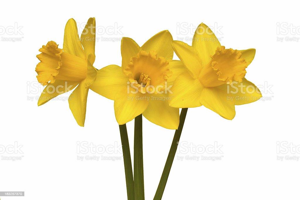 Bright yellow daffodil royalty-free stock photo