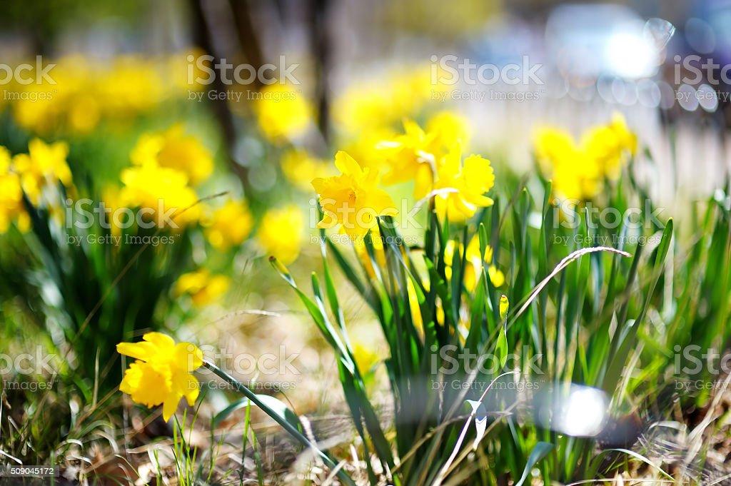 Bright yellow daffodils stock photo