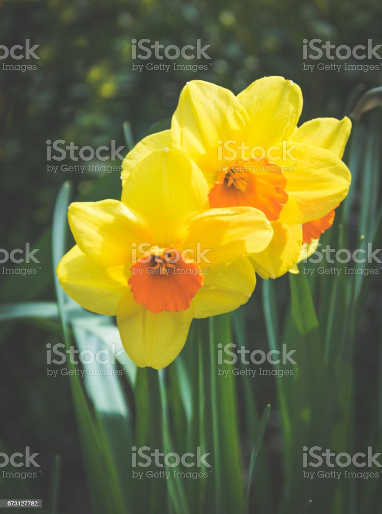 Bright yellow daffodils. The first spring flowers stock photo