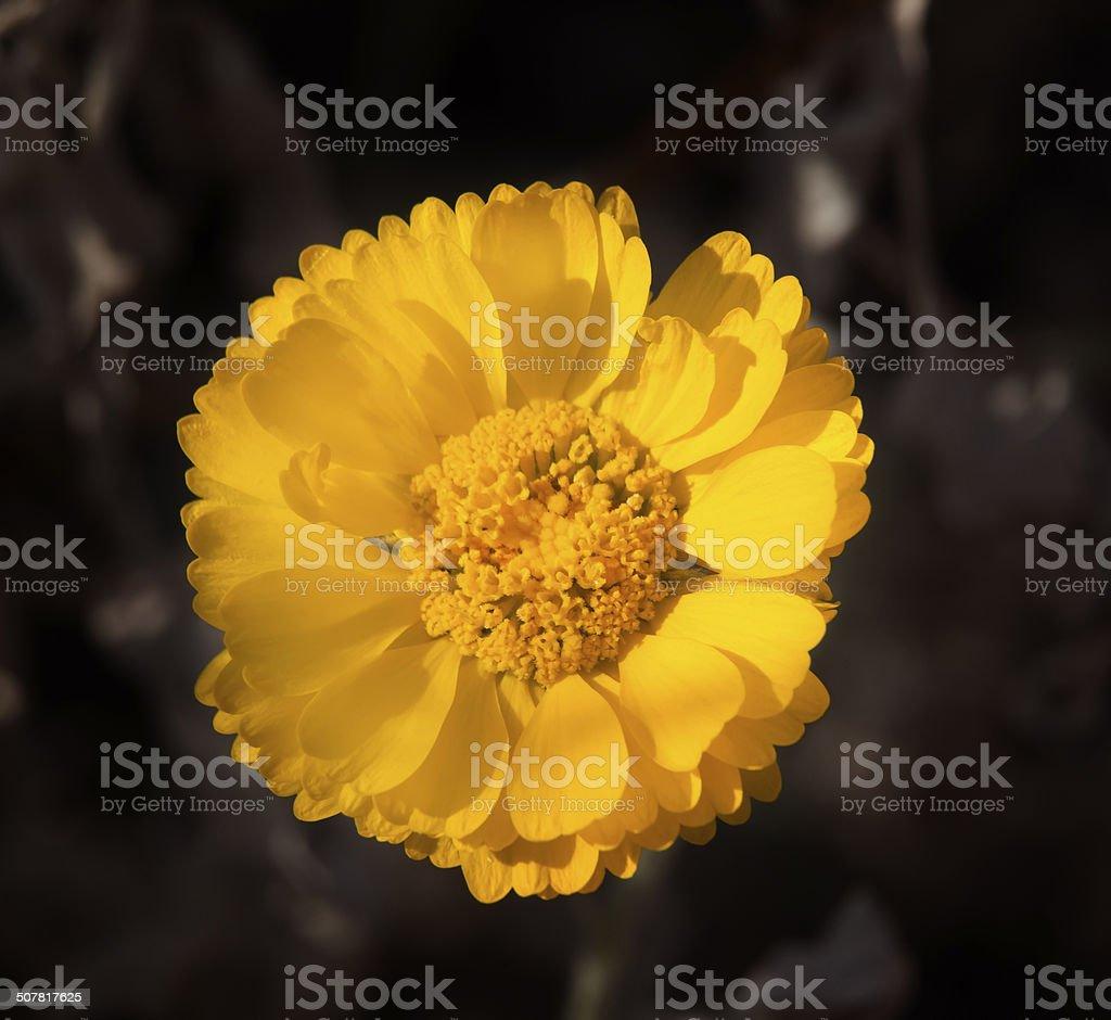 Bright Yellow Desert Marigold Baileya Mulitradiata stock photo