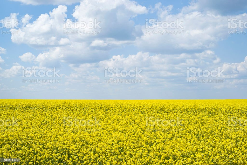 Bright yellow field of rapeseed in Ukraine stock photo