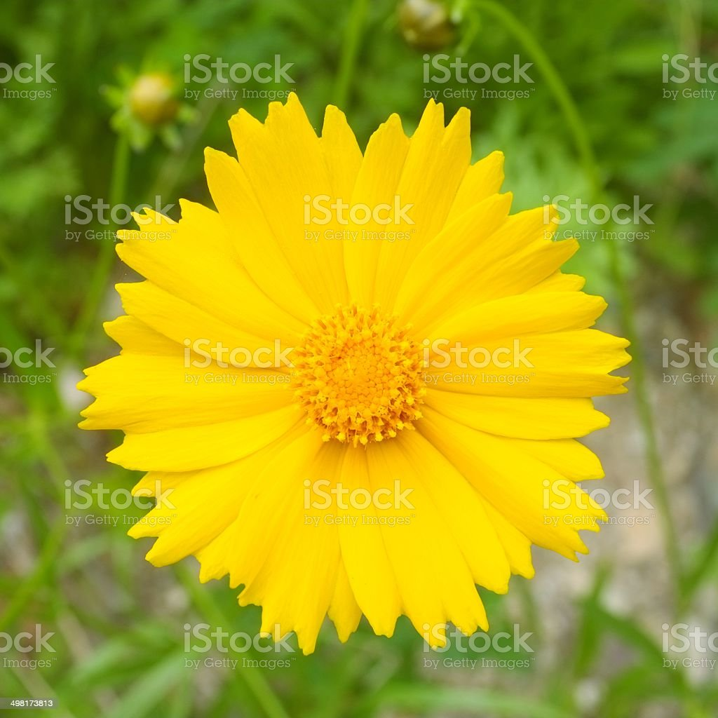 (Coreopsis Lanceolata) Bright yellow flower blooming in field stock photo