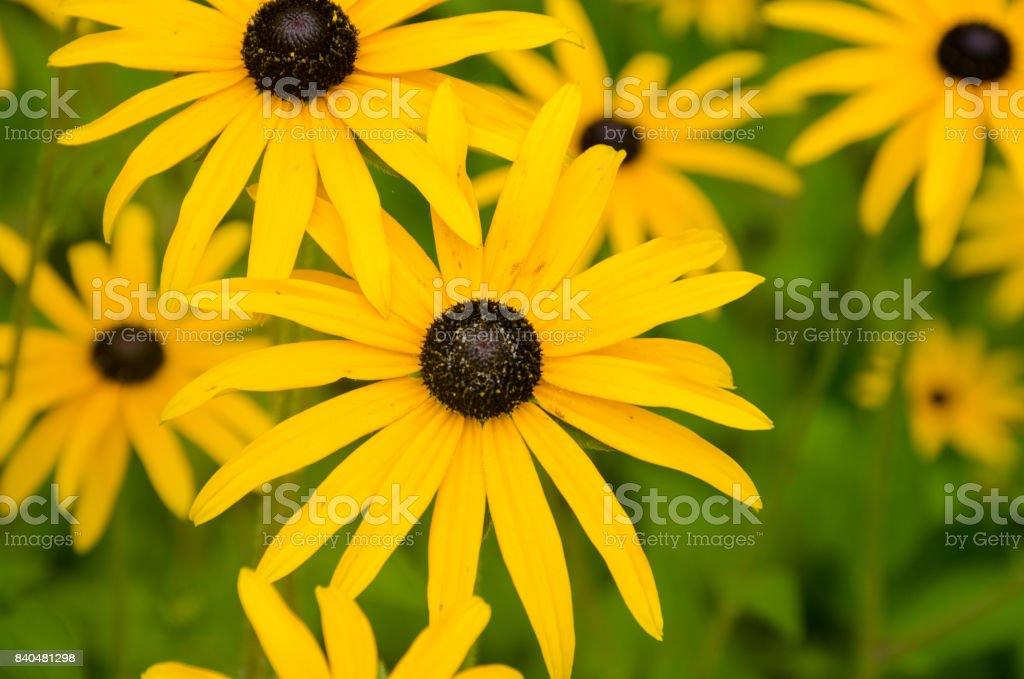 Bright yellow flower in group Rudbeckia hirta stock photo