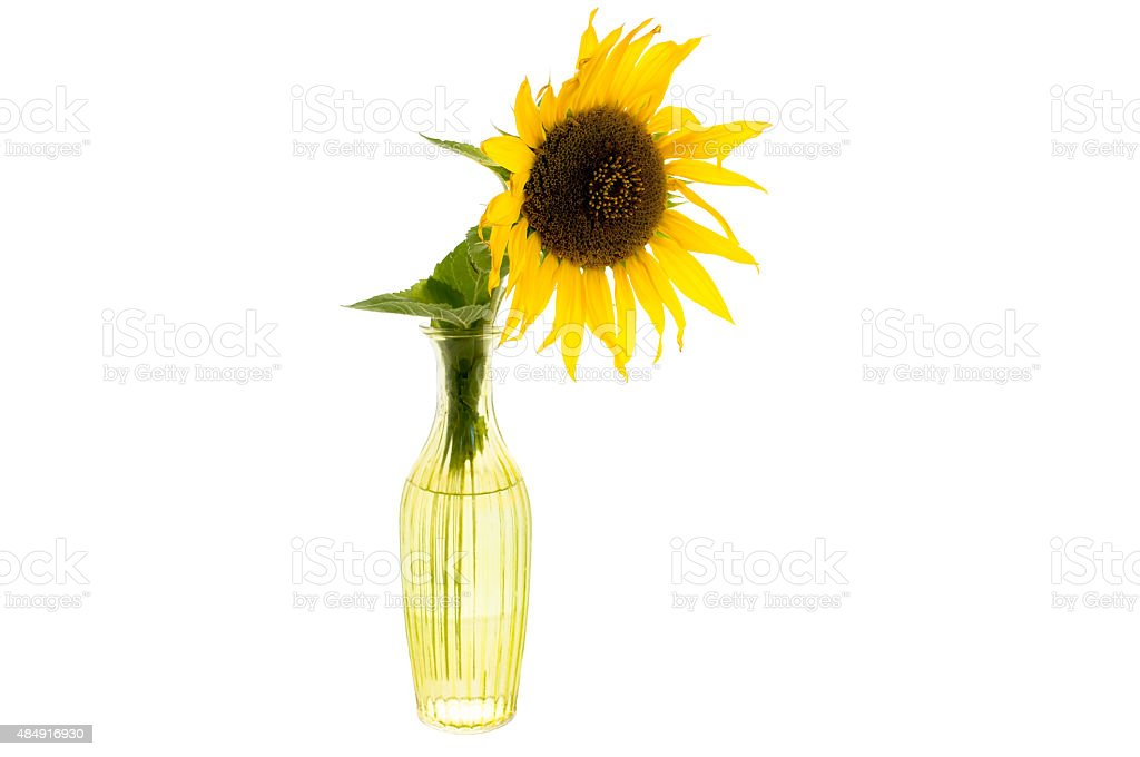 Bright yellow flower of sunflower in a glass vase isolated stock photo