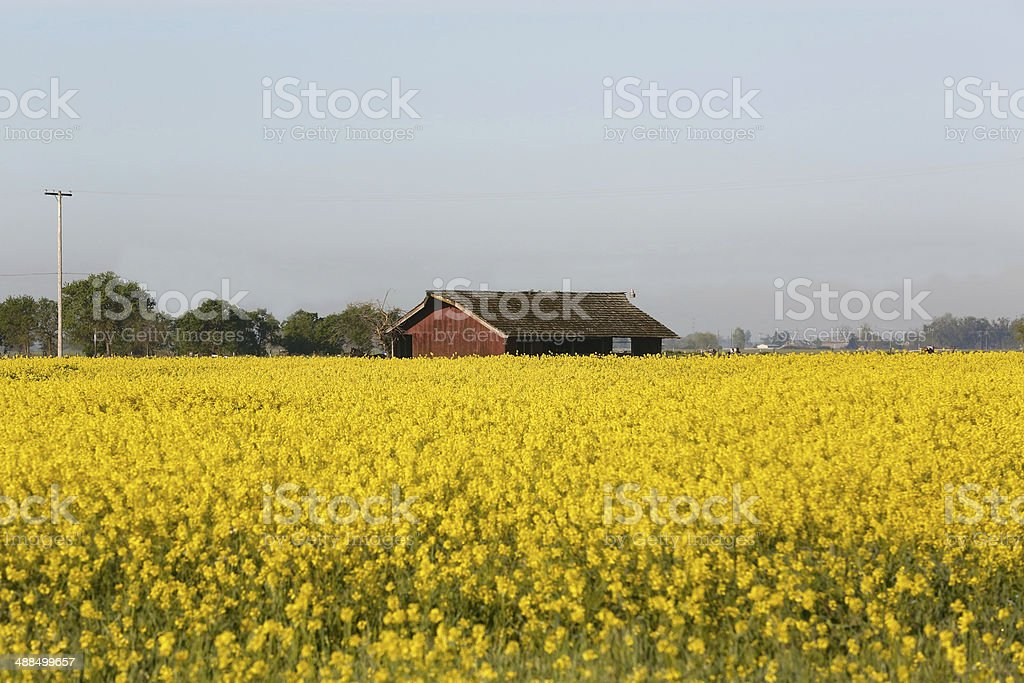 Bright yellow flowers fill a field stock photo