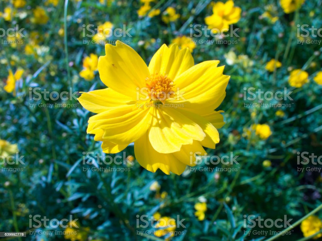Bright yellow flowers in the garden. stock photo