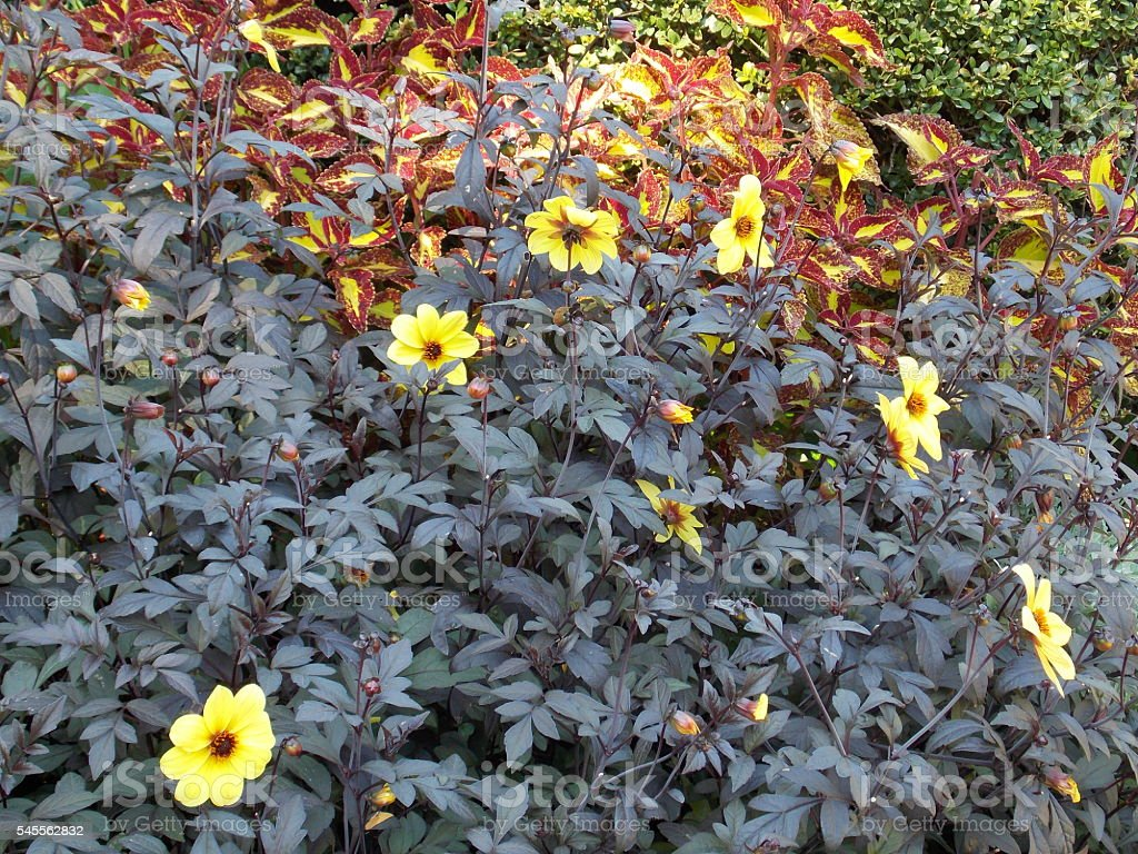 Bright Yellow Flowers Sticking Out of Dull Green Leaves stock photo
