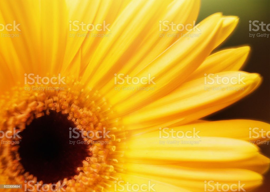 Bright yellow Gerbera or Barberton daisy flower in close up stock photo