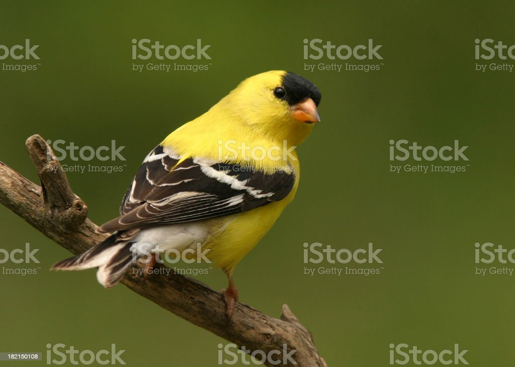 Bright yellow goldfinch sat on a brown branch stock photo