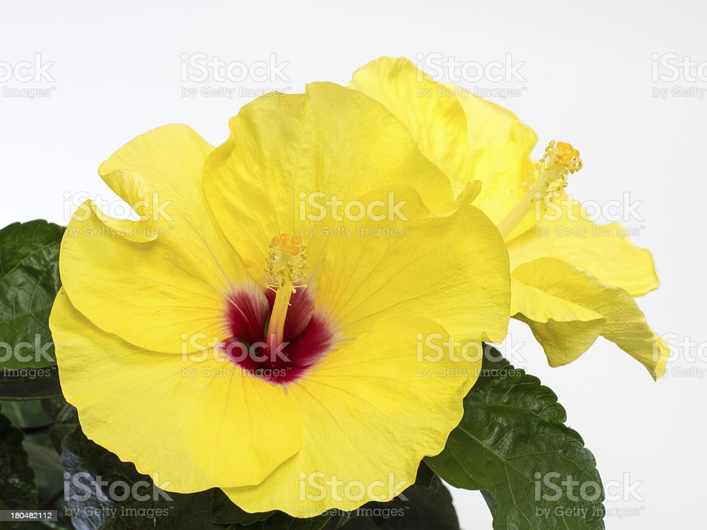 Bright yellow hibiscus royalty-free stock photo