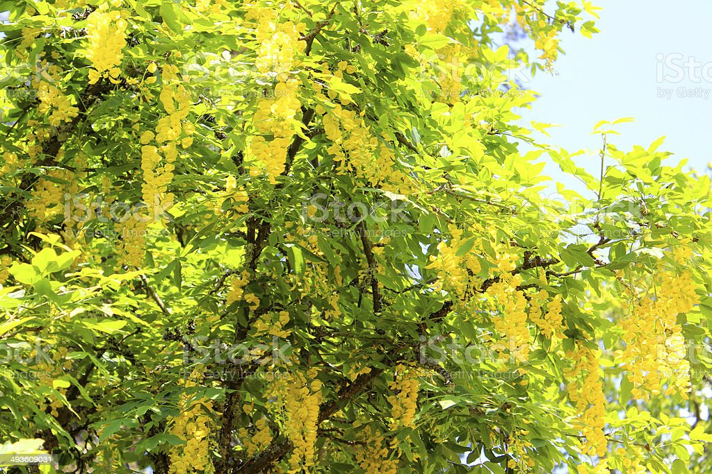 Bright yellow laburnum flowers against sky (golden chain tree) image stock photo