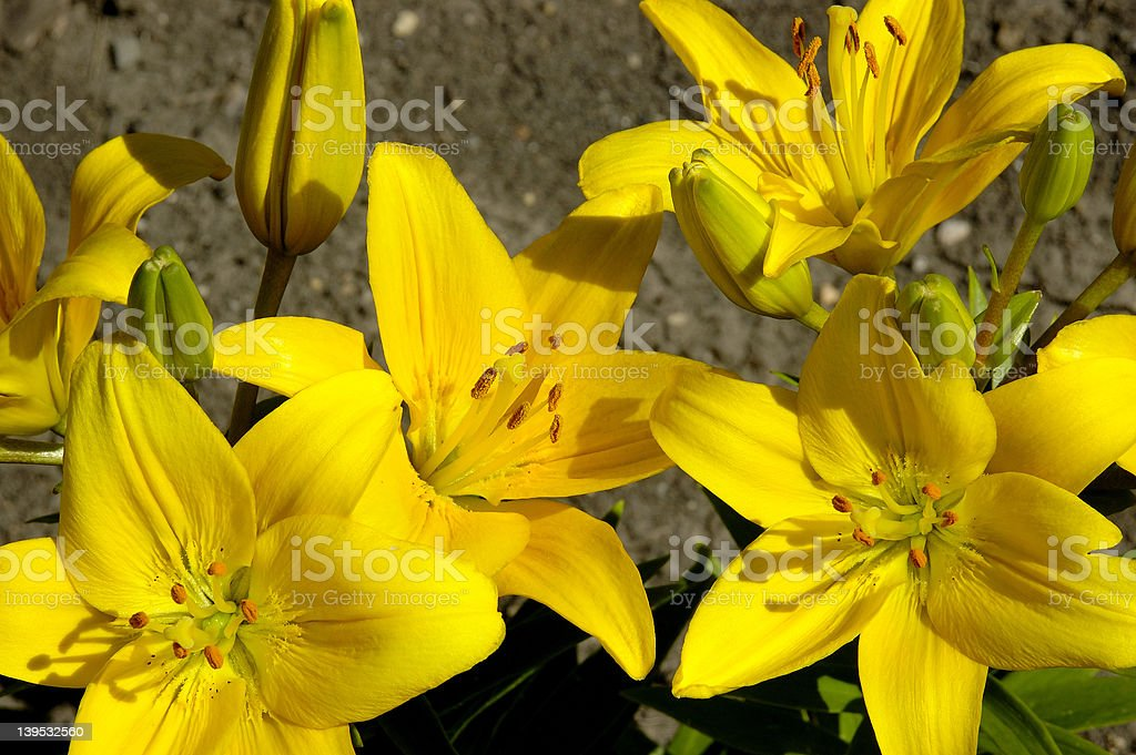 Bright Yellow Lilies stock photo