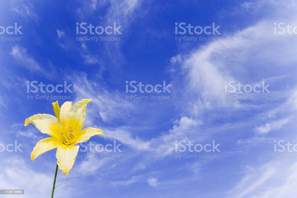 Bright yellow Lily blowing in the breeze royalty-free stock photo