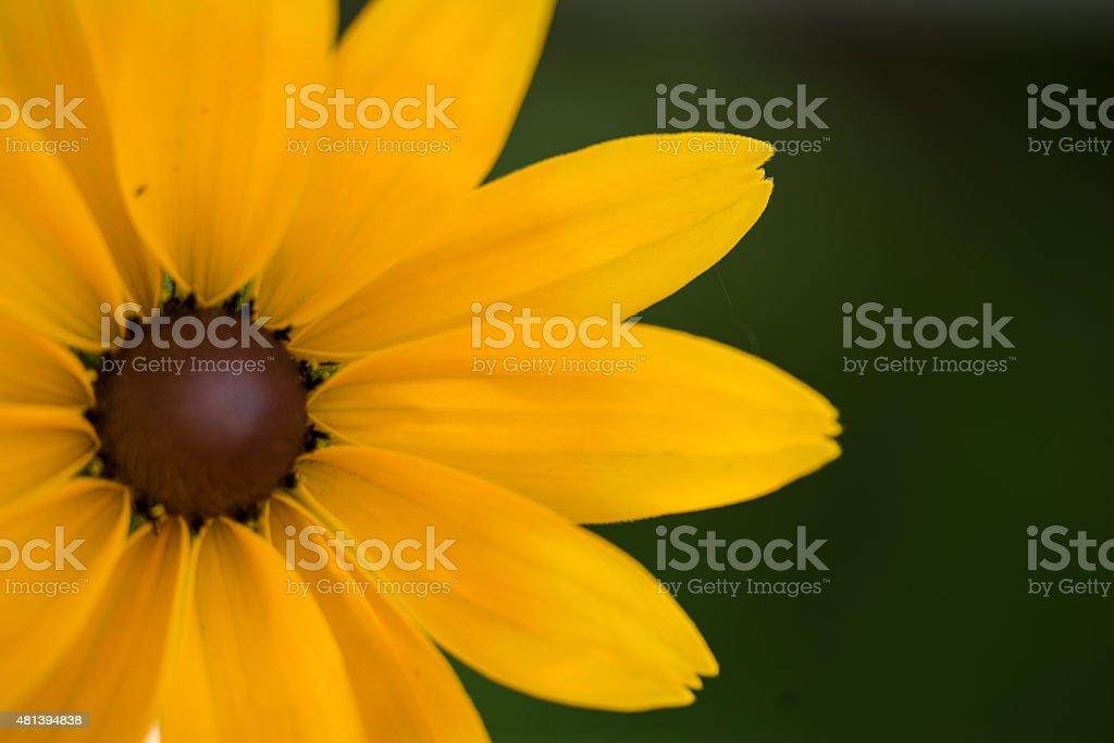 Bright yellow rudbeckia or Black Eyed Susan flower stock photo