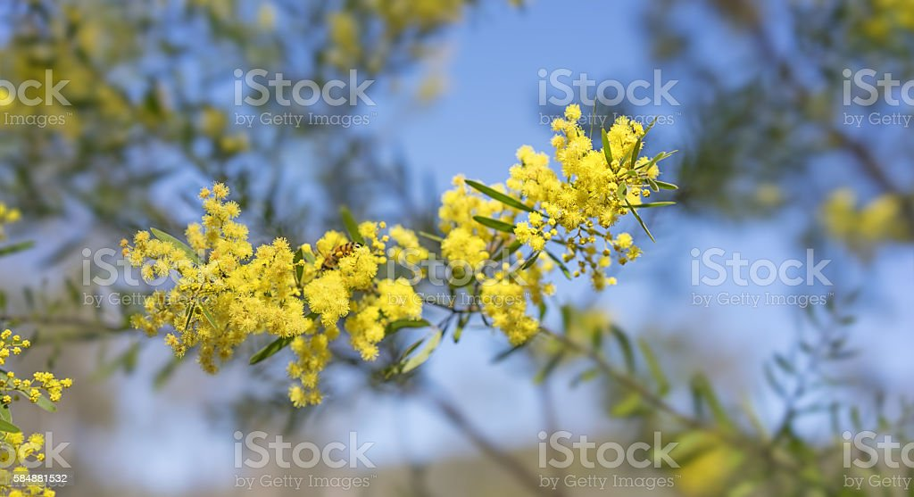 Bright yellow spring flowers Acacia fimbriata Brisbane Golden Wa stock photo