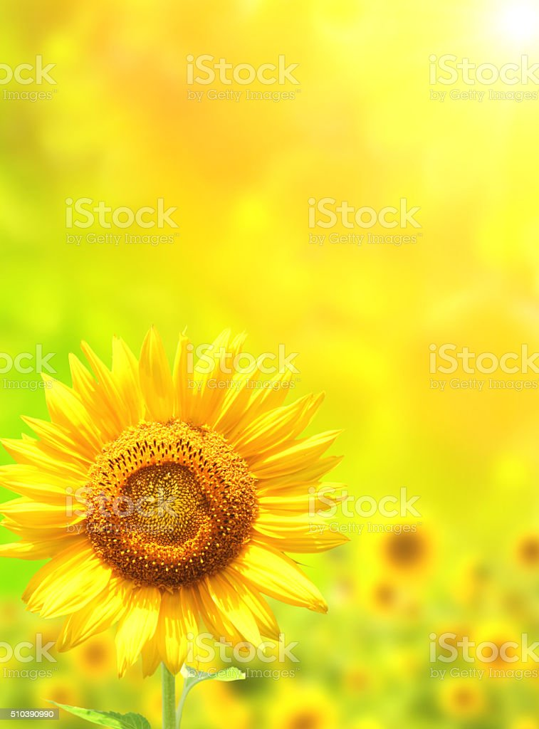 Bright yellow sunflower on green background stock photo