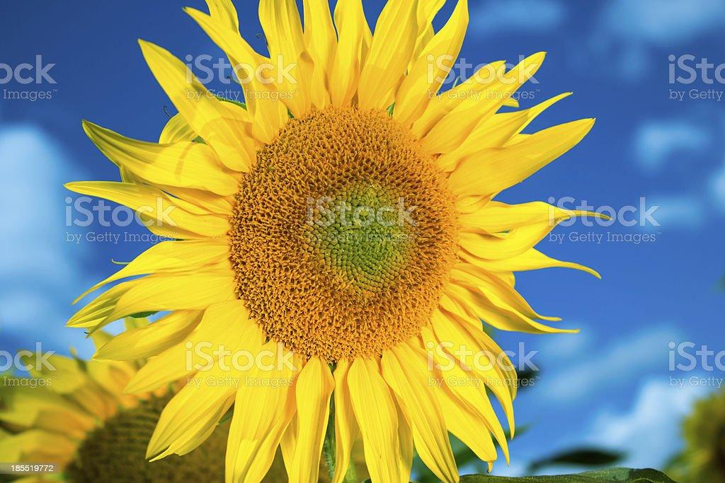 Bright yellow sunflower royalty-free stock photo