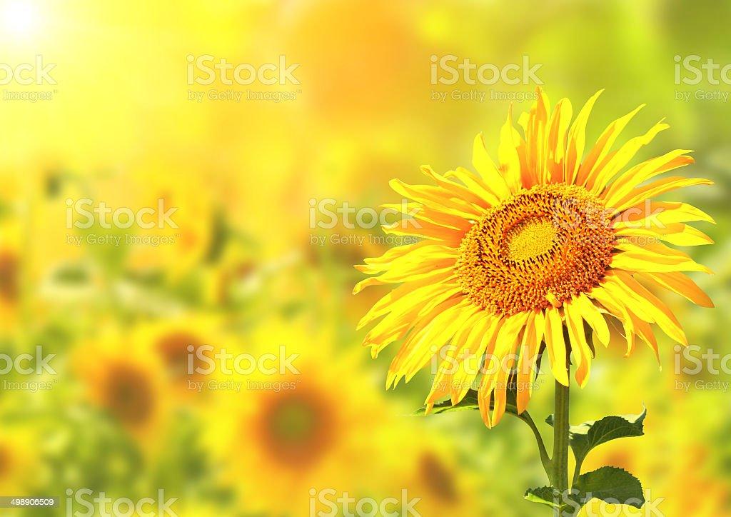 Bright yellow sunflowers stock photo