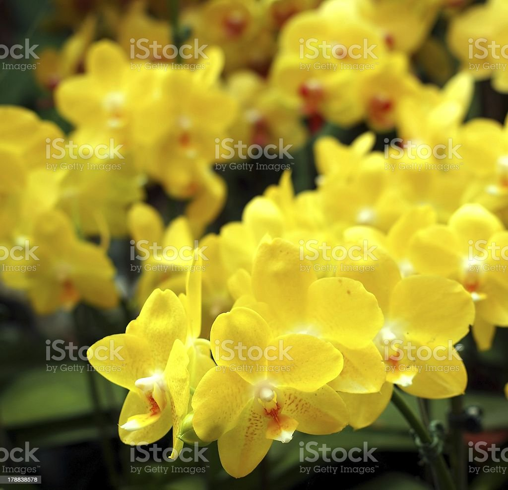 Bright Yellow Tropical Butterfly Orchids stock photo