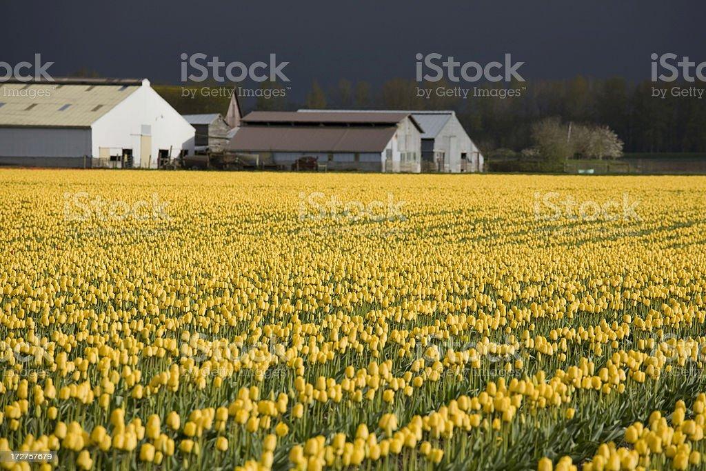bright yellow tulips on a farm royalty-free stock photo