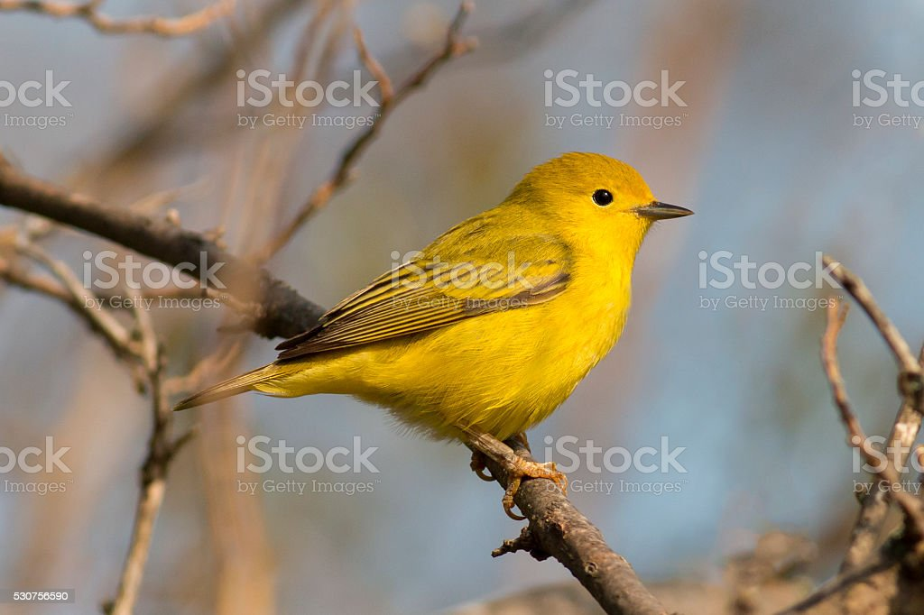 Bright yellow warbler bird perched in the sunlight stock photo