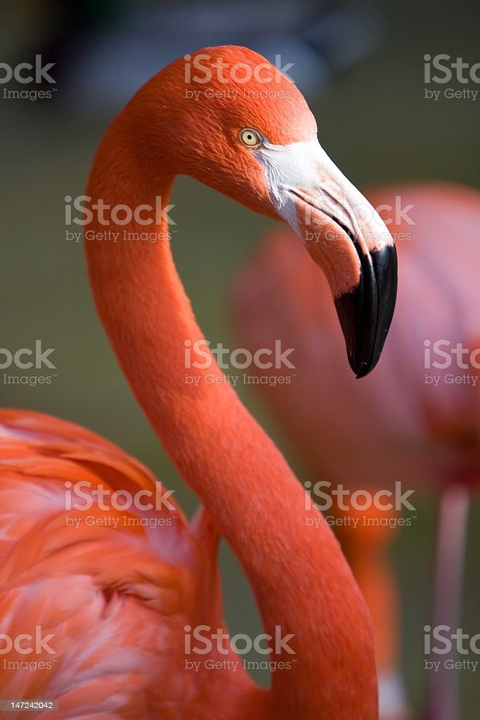 Brightly Colored Flamingo Portrait royalty-free stock photo