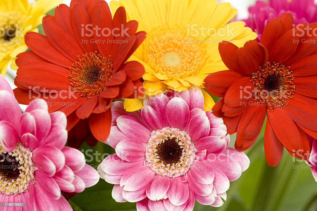 Brightly Colored Gerbera Daisies royalty-free stock photo
